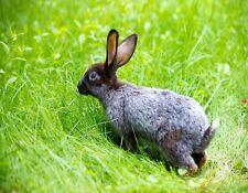 METAL FRIDGE MAGNET Gray Rabbit Walking In Grass Bunny Rabbits Bunnies