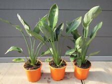 Strelitzia reginae - Paradiesvogelblume - Pflanze 60-80cm Strelitzie