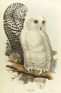 John Gould Native Animals Birds print tree owl art painting Vintage Australia