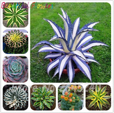 100 Pcs Seeds Aloe Cacti Agave Succulent Plants Bonsai Agave-Americana Potted X