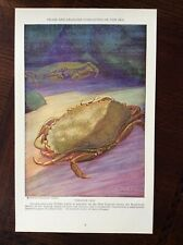 1928 vintage Original magazine illustration The Rock Crab