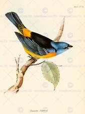 ILLUSTRAZIONE SCIENTIFICA Bird Finch Tanagra DARWIN NEW art print poster cc4236