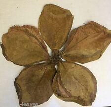 250 Gr > 100 Stück Indische Seemandelbaumblätter Catappa Leaves ca. 20-25 cm