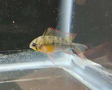 3 Bolivian Rams - LIVE FISH
