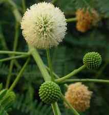 New listing 200 Fresh Leucaena Leucocephala / Lead Tree / White Popinac / Miracle Tree Seeds