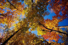 513063 Towering Deciduous Trees A4 Photo Print