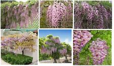 Pink Wisteria Vine Sweet Smelling Beautiful Vine 5 + Seeds