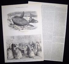 CAPTURE OF SUNFISH / SUN-FISH MOLIDAE CATALAN BAY GIBRALTAR ARTICLE / PRINT 1872