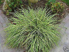 Gestreifte Segge Carex Hachijoensis Evergold 15-20cm immergrünes Ziergras