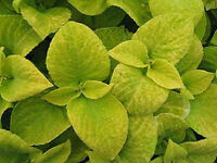 Coleus Seeds Wizard Sun Golden 50 Seeds