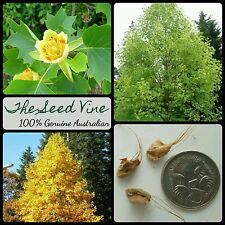 20 AMERICAN TULIP TREE SEEDS (Liriodendron Tulipifera) Flower Yellow Decoration
