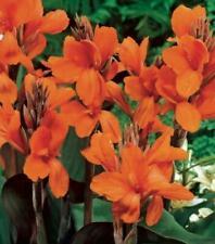 "Zantedeschia aethiopica /""BLANC/"" Calla Lily Ampoule x1 WPC Prins Qualité"