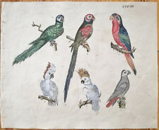 STRACK Rare Handcolored Print Bird Parrot (1) - 1819