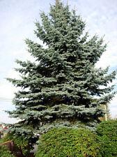 200 seeds Engelmann Spruce seeds trees