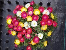 6x Delosperma Winterharte Mittagsblumen MixiTrixie 5Sorten Eisblumen Gr.L BUNT