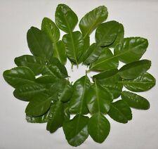 1 OZ Fresh Kaffir Lime Citrus Hyst Leaves Thai Gourmet Herbs Hand Picked Organic