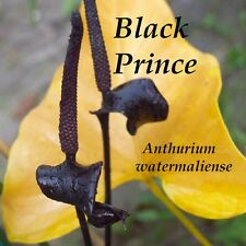 ~Black Prince~ TheLegendary Black Spathe Anthurium watermaliense Sm Potted Plant