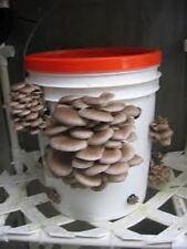 Winter Oyster mushrooms pleurotus ostreatus Real naturall seeds spores $9.90
