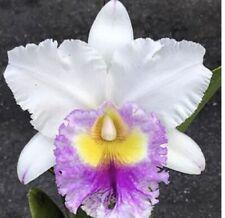 Rlc. Madame Edith Bongo Orchid Plant