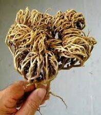 Flower of Maryam Booti Anastatica Hierochuntica Ease Labour Pain Plant Herb New