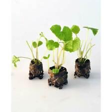 Gemüsepflanzen - Wasabi / Mephisto® Green - Wasabia japonica - 3 Pflanzen