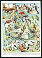 1928 Macaw Parrots, Owls, Exotic Finches, Hoopoe, Antique Print - Larousse