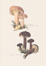 Birkenreizker Lactarius torminosus Mohrenkopf Farbdruck von 1965 Mykologie Pilze