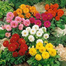 DAHLIA FIGARO NR.100 SEMI FIORI SEMENTI OFFERTA AIUOLE BORDURE FLOWER SEEDS,
