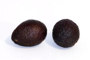 Grafted Pollack Avocado Tree ( Pollack (18-40 oz-B ) July-Sept )