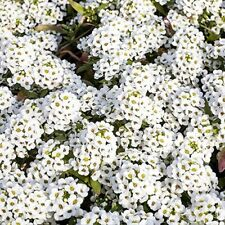 alyssum, sweet white flower FRAGRANT like honey. 100 fresh 2020 seeds