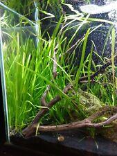 5 Jungle Vallisneria Jungle Val Plants, Live Aquarium Plants