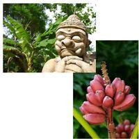zwei tolle Palmen für Haus und Garten: rosa Zwerg- und japanische Faserbanane