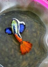 1 TRIO - High Quality Live Guppy - Platinum Dumbo Red Tail - USA Bred