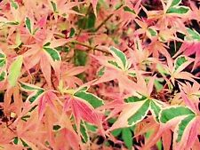 Acer Beni-schichihenge'Margined, blue/green leaves,Tinted Pink Turn Red Autumn