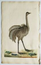 1791 Shaw & Nodder Antique H/C Engraving: AMERICAN OSTRICH Bird Decor Nature