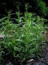 500 Semi di'Dragoncello Russo / Erba Dragon / Artemisia Orto