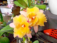 BIN-Blc. Momilani Rainbow 'Waldor' Fragrant! Collector's Item! Attractive! Nice!