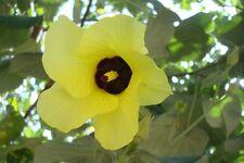 Arbol de Santo Tomás - BAUHINIA RACEMOSA - 9 Semillas  - Samen - Semi