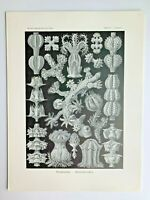 1899 Ernst Haeckel Kunstformen 1st ed. Original Antique Plate #39 - Gorgonia