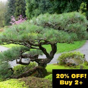 ☆Japanese Black Pine Tree, Bonsai Subject. (Pinus Thunbergii) 9cm Pot, One Year+