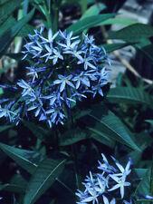 20 graines d' Etoile Bleue Parfumée(Amsonia illustris)G776 Ozark Bluestar Seeds