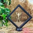 G21E Taxidermy Black Webbed Tree Frog Floating Frame Display oddities Curiosity