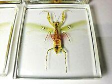 PRAYING MANTIS CREOBROTER GEMMATUS preserved in indestructible resin