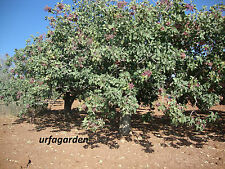 Genuine Pistacia Vera Antep Turkish Pistachios Fresh Edible 500 New Season Seeds