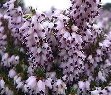 9cm Pot Winter Flowering Hybrid Heather Margaret Porter UprightSalmon Pink