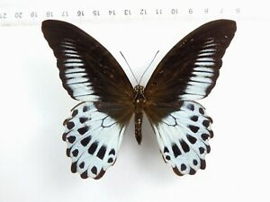+ ENTOMOLOGY, BUTTERFLY: PAPILIO POLYMNESTOR POLYMNESTOR MALE INDIA +++++ RARE !