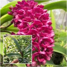 """Thai Orchid Plants Rhynchostylis 1"""" In Pot (Chang Dang) Rhy Red Flower Orchid"""