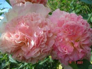 Mallow Terry Apple Blossom (Althaea rosea) from Ukraine
