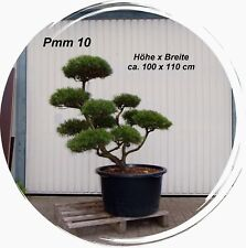 Pinus, Kiefer, Bonsai, Gartenbonsai, Formgehölz, Formschnitt,  Niwaki, Pmm 10