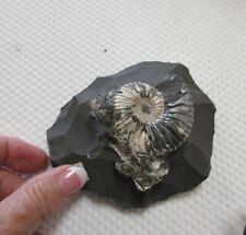 Ammonite Deshayesites deshayesi in Matrix from Russia